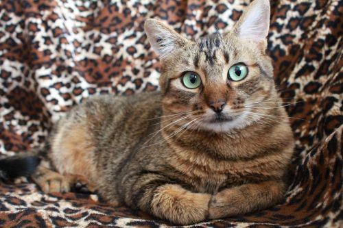katė,pilka katė,naminis gyvūnėlis,kačių žalia akys,tabby katė,katė guli,miela katė,atrodo,kačių,naminis gyvūnas,katė nap,katė poilsio