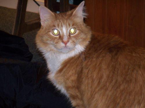 katė, katės, kačiukas, akys, žėrintis, gyvūnas, gyvūnai, naminis gyvūnėlis, augintiniai, vaikai, vaikai, naminiai gyvūnai & nbsp, parduotuvė, naminiai gyvūnai & nbsp, parduotuvė, gyvūnų namuose, katė