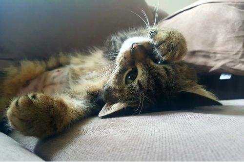 katė,naminis katinas,tingus,tingumas,poilsis,atsipalaiduoti,nuotaika,állatportré,prancūziškas skrebutis,gyvūnai,fauna,miegoti,kailiniai,žiūrėti,laisvas,Lustul,felis silvestris catus,felidae,kačių,tingus sekmadienis,moteriškas katinas,guli,tuščiosios eigos