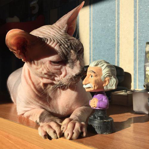 katė,Sfinksas,Sfinksas,nuplikęs,einšteinas,žaislas,katė vaidina