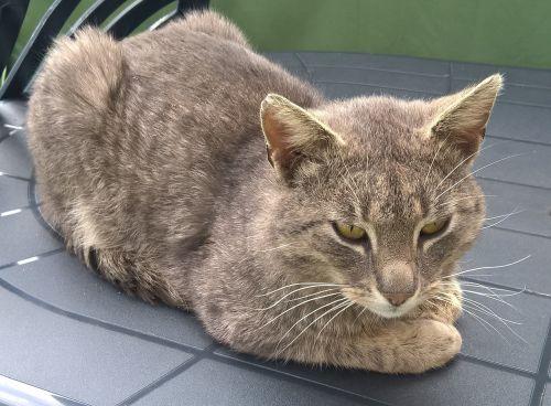katė,gyvūnas,kačiukas,Tomcat,naminis katinas,kailis,kailis,gyvūnai