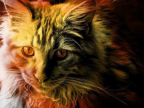 katė,maine coon,gyvūnas,kailis,grynas,Tomcat,kailis
