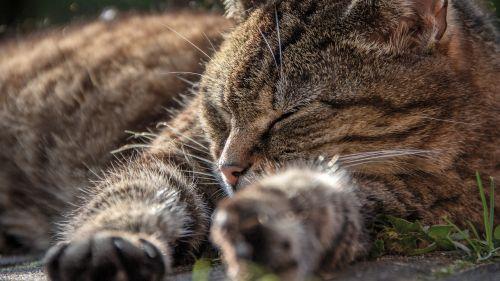 katė,Uždaryti,naminis katinas,galva,saldus,gražus,gyvūnas,portretas,mieze,laukinės gamtos fotografija,talonas,kailis,naminis gyvūnėlis,Doze,wuschelig,kačiukas,gyvūnų kailis,snukis,minkštas kailis,kojos,miega,svajoti