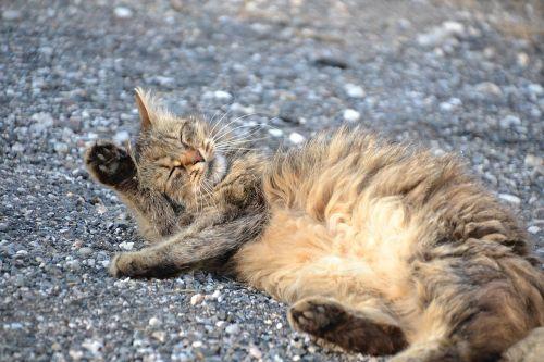 katė,skumbrė,katės plovimas,saldus,gyvūnas