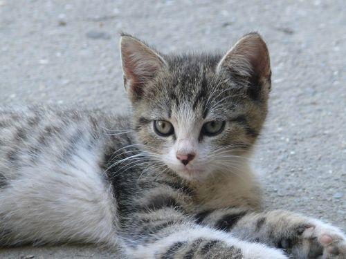 katė,naminis gyvūnėlis,gyvūnas,kačiukas,akys,kačiukas,kačiukas,kačiukas