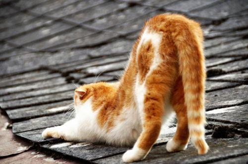 katė,ant lentynos,stogas,išspaudimas,gyvūnas,2 spalvos,tingus,poilsis,Siesta,poilsis,po miego,taika