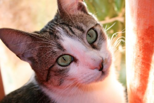katė,katės akys,mieze,naminis katinas,felidae,naminis gyvūnėlis