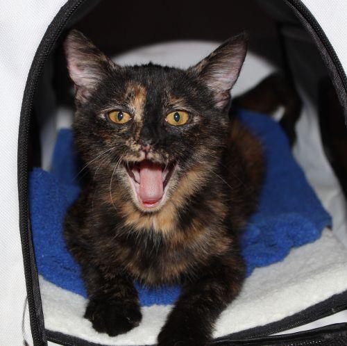katė,Miau,vėžlys,petit,burnas atidarytas,naminis gyvūnėlis