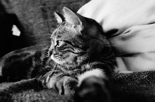 katė,tabby katė,juoda ir balta,katė guli,kačių,naminis gyvūnėlis,patalpų katė,naminis gyvūnas,naminis katinas,gyvūnas,poilsis,mielas,nap,mielas kačiukas