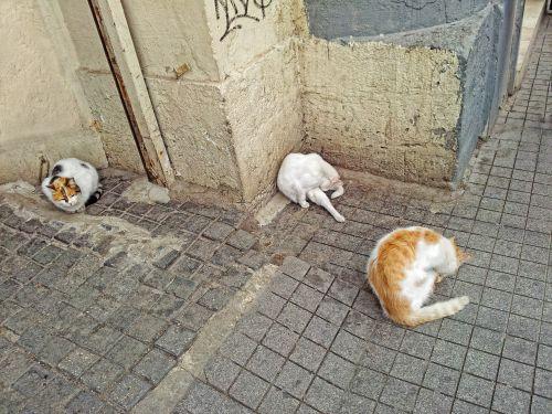 katė,gyvūnai,gyvūnas,katės plovimas,istanbulas