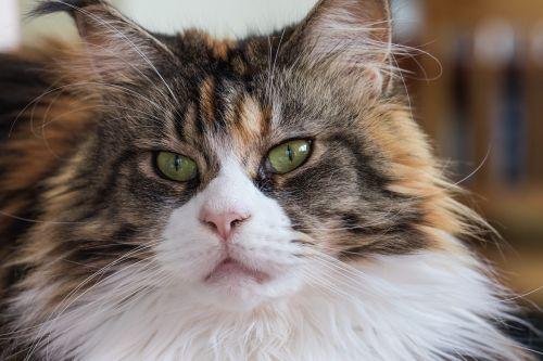 katė,maine coon,veislė,naminis katinas,katės akys,kačių akys,akys,auksinės akys,gyvūnas,grynas,atrodo,kailis