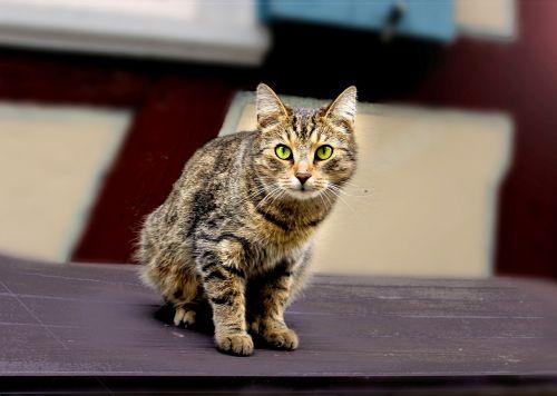 katė,kačiukas,naminis katinas,mielas,naminis gyvūnėlis,gamta,akys,žavus