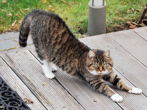 katė,gyvūnas,katės,ištempimas,naminis gyvūnėlis