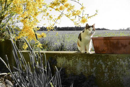 katė,mieze,naminis gyvūnėlis,gamta,naminis katinas,filialai,pavasaris
