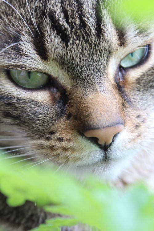 katė,mieze,tigro katinas,mielas,naminis gyvūnėlis,kačių veido,kačių akys,gyvūnų portretas,grožis,Uždaryti,kačių portretas,galva,kačių nosis