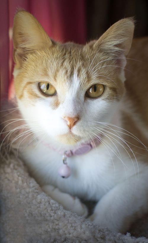 katė,kačių,mielas,veidas,gyvūnas,vidaus,naminis gyvūnėlis,kačiukas,kačiukas,galva,portretas,žavinga,jaunas,žiūri,akis