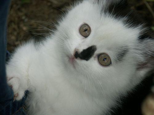 katė,gyvūnas,mielas,naminis gyvūnėlis,kačiukas,vidaus,kačių,žinduolis,balta,veidas,kačiukas,akys,žiūri,žavinga,ūsas