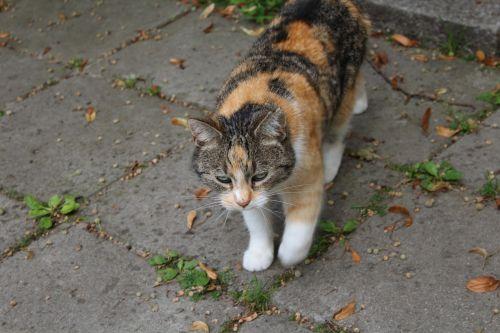 katė,gyvūnas,naminis katinas,kailis,žavus,pėdos,kailis,smalsumas