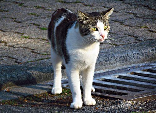 katė,kačiukas,Tomcat,naminis katinas,jaunas kačiukas,gyvūnas,kačiukas,gamta