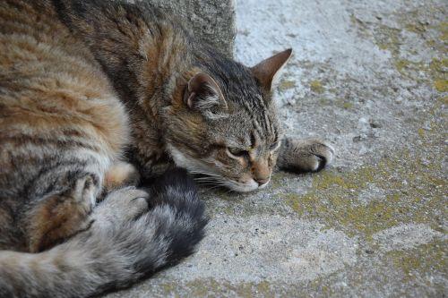 katė,gyvūnas,naminis gyvūnas,katė guli,tabby katė,kačių,pilka katė,katė,kuri miega,alėja katė,didelė katė