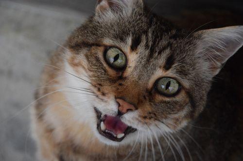 katė,naminis gyvūnas,kačių,atrodo,meows,Miau,tabby katė,didelė katė,pilka katė,alėja katė,pagirios,croc
