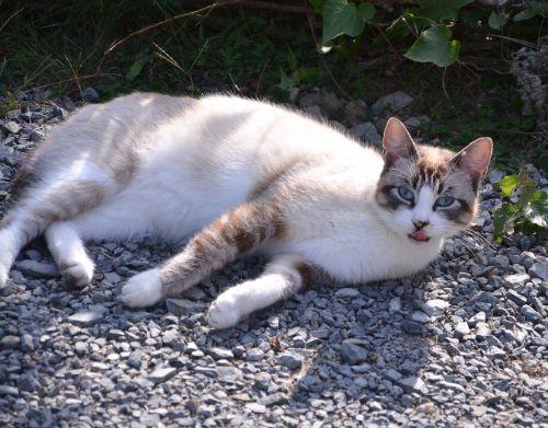katė,kačių,atrodo,mėlynos akys,naminis gyvūnas,kačių akys,ūsai