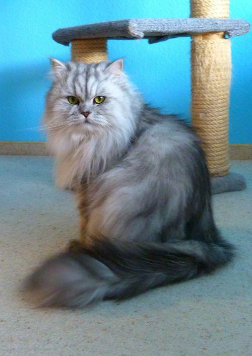 katė,naminis katinas,naminis gyvūnėlis,pilka,kailis,kačių medis