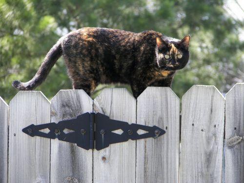 katė,tvora,kačių,kačiukas,kačiukas,naminis gyvūnėlis,gyvūnas,vidaus,žinduolis,jaunas,žavinga,lauke,kailis