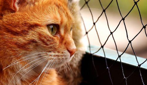 katė,skumbrė,nuotrauka,laukinės gamtos fotografija,portretas,juokinga,raudona,tigro katinas,kačiukas,mieze,raudona katė,naminis katinas,raudonos skumbrės tabby,katės akys,kačių veido,naminis gyvūnėlis