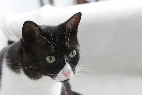katė,gyvūnas,naminis gyvūnėlis,kačių veido,kačių sustojo,Naminiai gyvūnai,kačiukas,gyvūnų portretas,kačių išvaizda,kačių,mielas,naminių gyvūnėlių,kompanionas