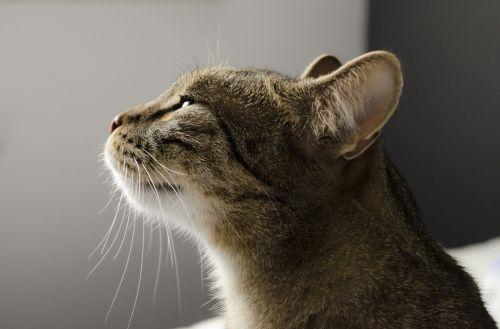 katė,kačiukas,naminis katinas,Tomcat,naminis gyvūnėlis,kvapo jausmas