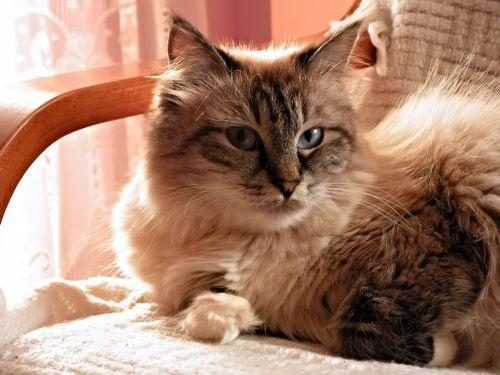 katė,mėlynos akys,Siberianas,fotelis,naminis katinas,kačių akys,tingumas,atrodo,katės akys,grynas