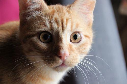katė,naminis gyvūnėlis,galva,raudonasis kumpis,akys,gintaro akys,siurprizas,katės akys,portretas,kačių veido