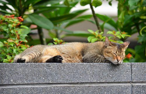 katė,miega katė,atsipalaiduoti,atsipalaiduoti,gyvūnas,atsipalaiduoti,miegoti,naminis gyvūnėlis,miegančios katės,poilsio,katė tailandas,kačių namas,katės tigro juostelės,augintiniai,jam,miela katė,dryžuota civet
