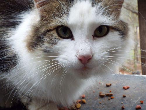 katė, gyvūnas, mielas, naminis gyvūnėlis, kačiukas, kailis, jaunas, mielas, pūkuotas, akis, tabby, ispanų, be honoraro mokesčio