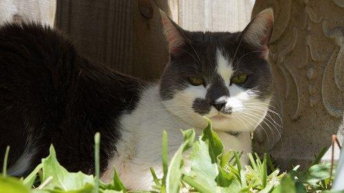 katė, gyvūnas, mielas, žinduolis, augintinė, vidaus, portretas, smalsumas, mielas, letena, akių, pobūdį, kačiukas, kailiai, ieško, žavinga, kačių, pilka, purus