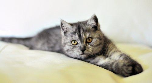katė, šuo, šuo ir katė, katė šuo, augintinė, mielas, vidaus, gyvūnai, kačiukas, kačių, draugas, Kūdikių, smulkių gyvūnų, Kitty, kūdikio katė, mažai katė, pilka katė, pilka kačiukas, Miau, foldex, British shorthair, egzotiškoji katė, Bengal, leopardas, Bengalijos katė