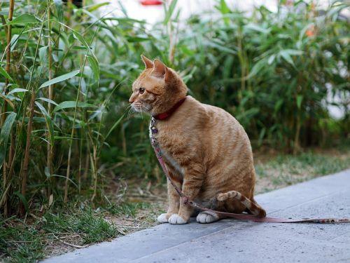 katė,geltona,mielas,galvoti
