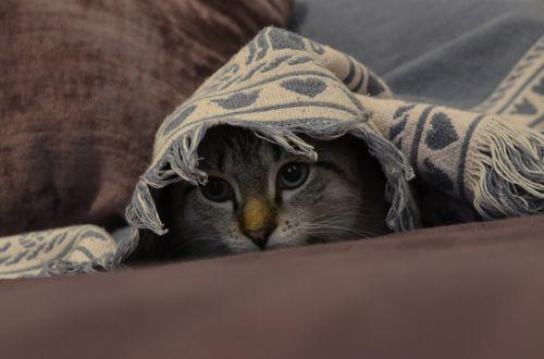 katė,kačiukas,mielas,naminis gyvūnėlis,kačių,kačiukas,portretas,akys,gražus,veidas,dykumos-lynx,žaismingas,paslėpta,slepiasi