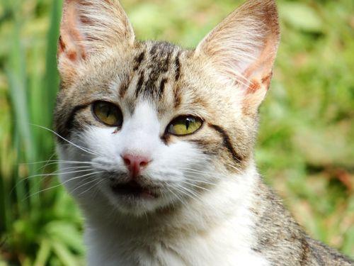 katė,kačių,gyvūnas,kačiukas,naminis gyvūnėlis,kačių sustojo,kačių veido,katės akys,kačių išvaizda,vienišas,sureguliuotas