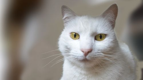 katė,gyvūnai,naminis katinas,balta,kūdikiai,naminis gyvūnėlis,kačiukas