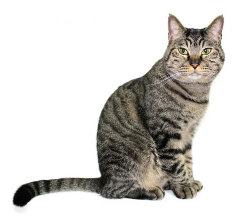 katė,aemyo,naminis gyvūnėlis,katės