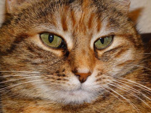 katė,naminis katinas,naminis gyvūnėlis,kačių veido,katės akys
