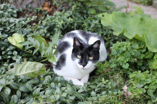 katė, juoda, balta, sodas, krūmai, gyvūnas, kačių, naminis gyvūnėlis, vidaus, žinduolis, mielas, akys, ūsas, kailis, portretas, žvilgsnis, kelia, Poser