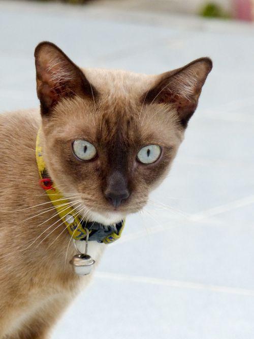 katė,Tailandas,mielas,gyvūnas,bjaurus,kačiukas,kailis,asian,žavinga,pėsčiųjų takas,aukštas,mielas,jaunas,šviesa