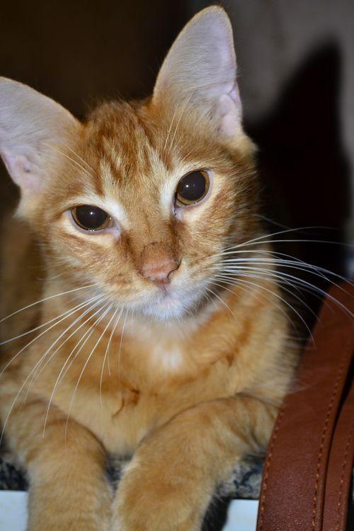 katė,atrodo,kačių,blondinė,kačių išvaizda,kačiukas,kačių sustojo,naminis gyvūnėlis,katės akys,kačių veido,Naminiai gyvūnai,zoologija,gatão,gyvūnas,sureguliuotas