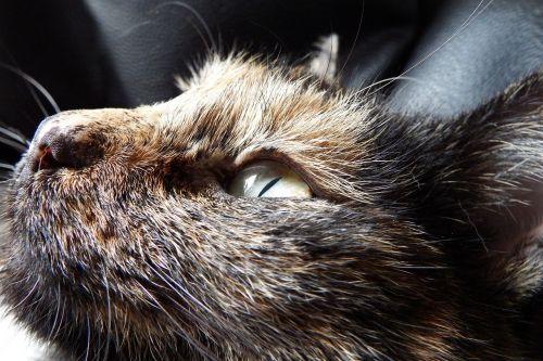 katė,gyvūnas,atsipalaiduoti,vėžlys,trispalvis,vėžlių katės,vėžlių apvalkalo modelis,miegoti,naminis gyvūnėlis,naminis katinas,skumbrė,tepimas,pataisytas,laukinės gamtos fotografija,Uždaryti