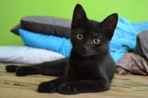 katė,kačiukas,juoda,gyvūnas,naminis gyvūnėlis,kačiukas,mielas,juodas kačiukas,akys,geltonos akys,didelės akys,katės akys,žinduolis