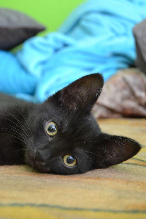 katė,kačiukas,galvos katė,katės akys,akys,geltonos akys,didelės akys,kačiukas,mielas,naminis gyvūnėlis,gyvūnas,žinduolis