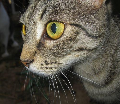 katė,akys,katės akys,geltonos akys,naminis gyvūnėlis,dėmesio,lauer pozicija,vaizdas,gamta,gyvūnas